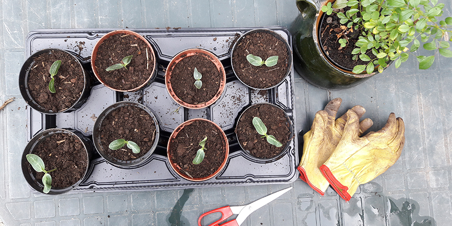 Coltivare la Luffa, la spugna vegetale