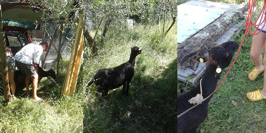 black tuscan sheep